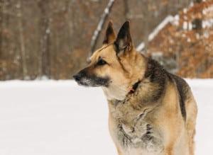 The Noble German Shepherd