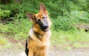 ad What is the best dog food to feed a German Shepherd? #dogfood #rawdogfood #GermanShepherd