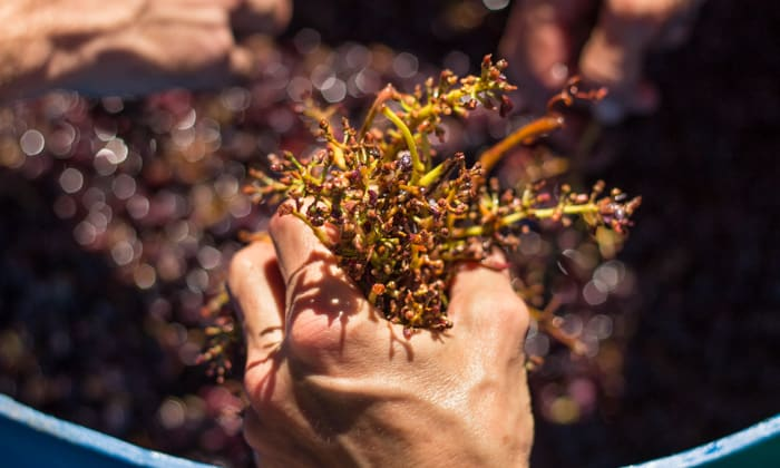 We gather around the barrel of crushed grapes and remove most of the stems and leaves.